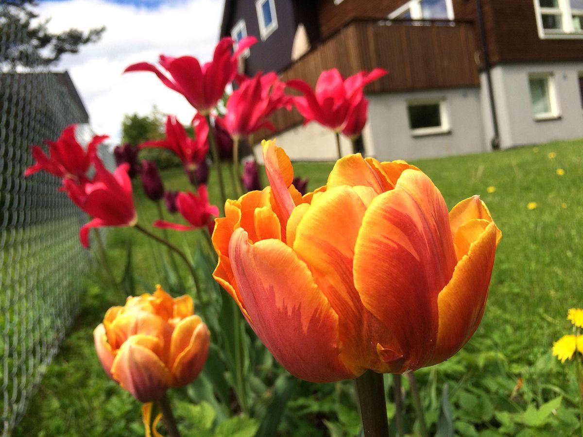 <p>Fortsatt er det en stund til tulipanene blomstrer i hagen. I mellomtiden kan tulipanelskere glede seg over at sesongen er igang rundt omkring i gartneriene. Arkivfoto: Svanhild Blakstad</p>