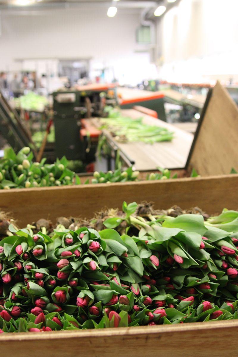 Tulipaner er den snittblomsten det produseres mest av her i landet. Her fra tulipanproduksjon i Lier. Foto: Plantmania