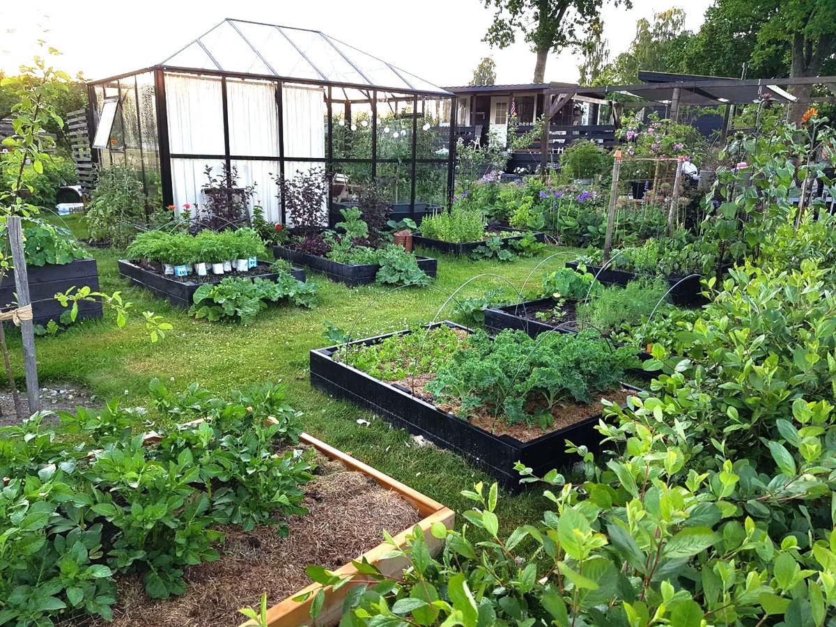 Dyrking av grønnsaker er i skuddet som aldri før. Bildet er fra kolonihagen til Marit Næss Jørgensen i Sandefjord. Foto: Hageplanlegging.no