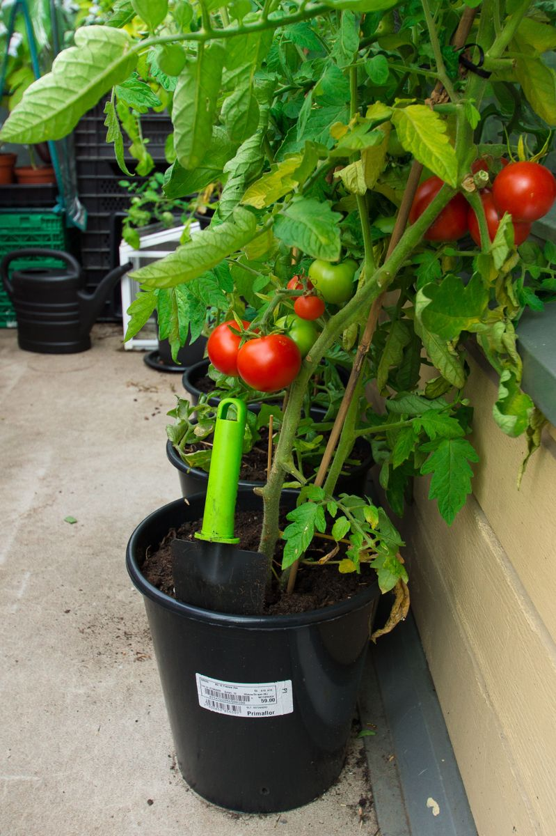 Du kan fint dyrke dine egne tomater på en liten balkong. Foto: Monica Løvdahl