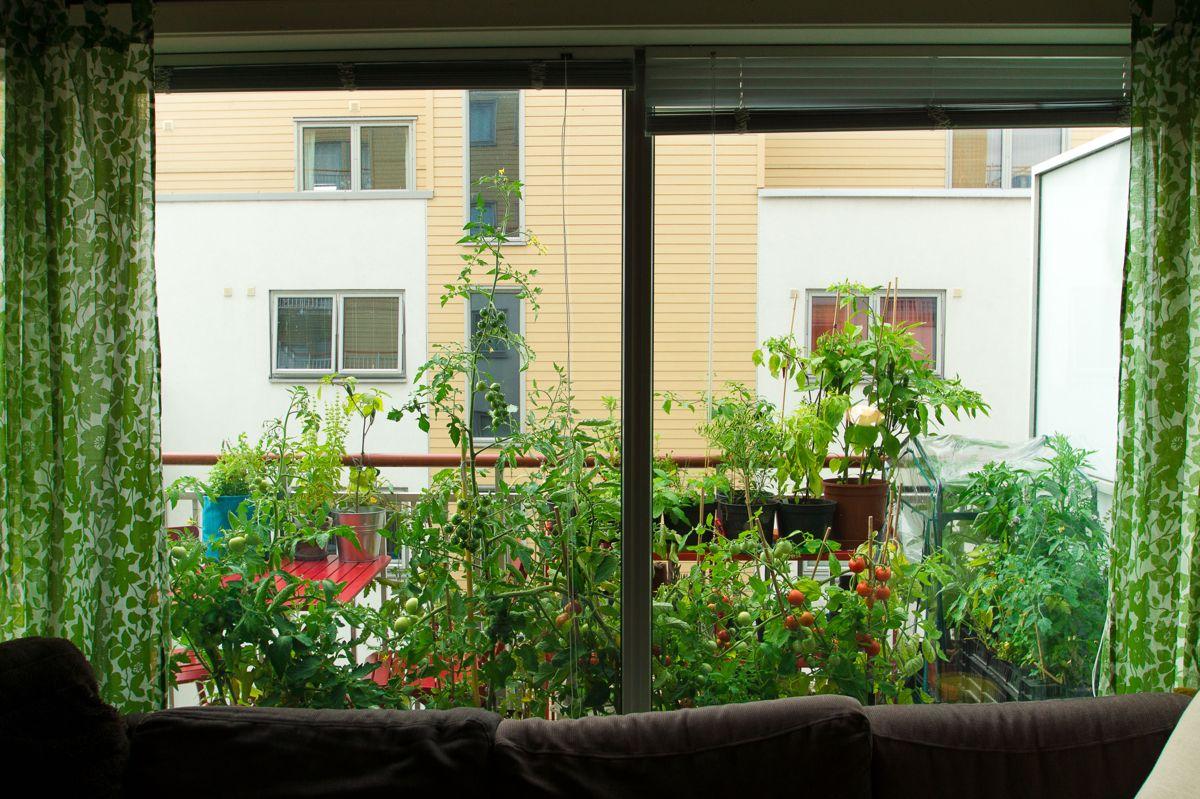 - Det er noe eget ved å nyte selvdyrkede grønnsaker, og tomater er enkle å få til, sier bydyrker og forfatter Helene Gallis. Slik er utsikten hennes fra stuen og ut mot balkongen i vekstsesongen. Foto: Monica Løvdahl