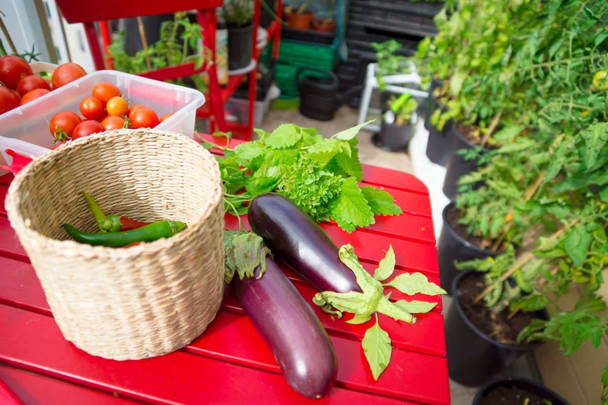 Helene Gallis er selvforsynt gjennom sesongen med tomater og chili. Foto: Monica Løvdahl