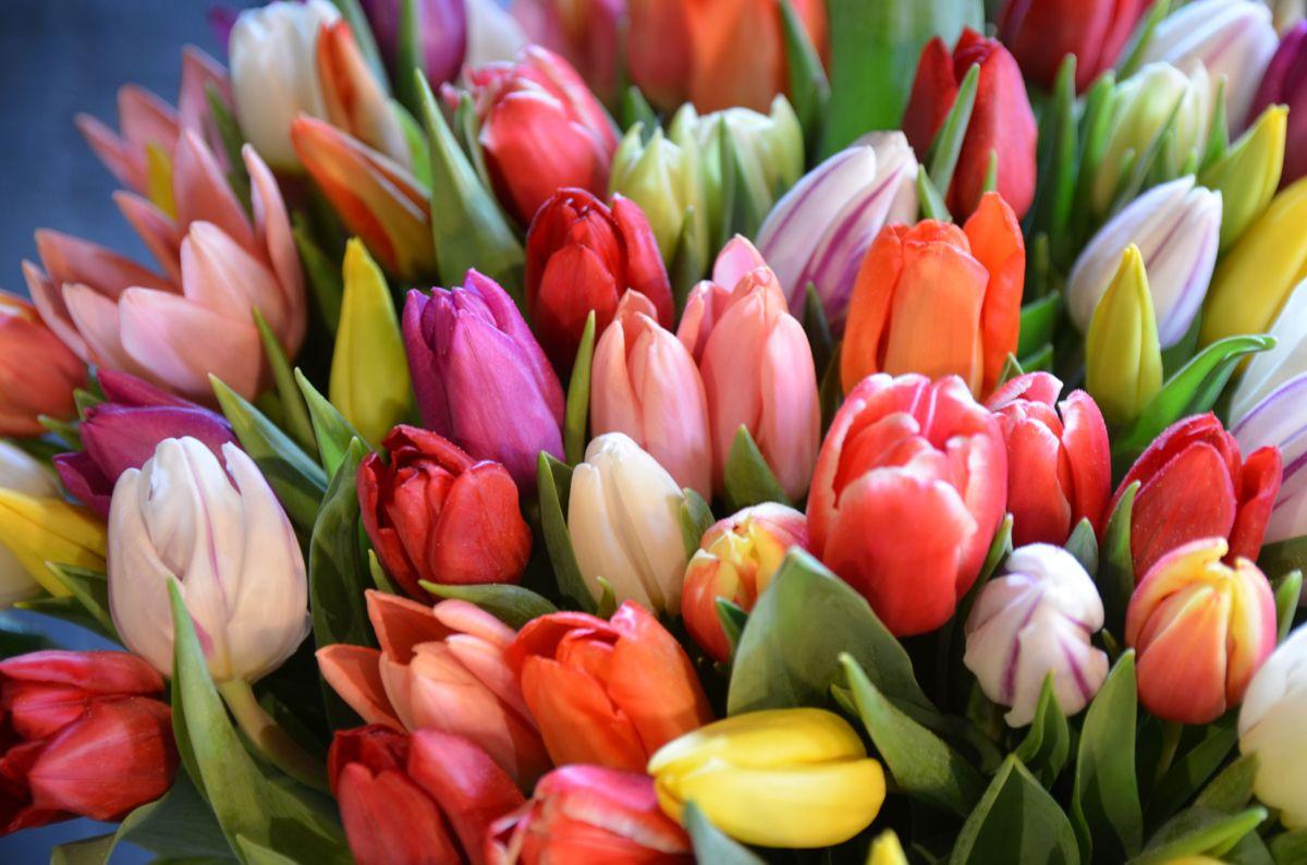 Tulipaner tåler både litt kulde og noen dager uten vann. Foto: Plantmania