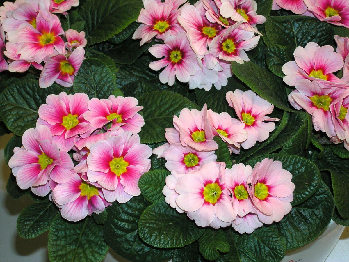 Lag plass i vinduskarmen til Primula, denne planten har blomster i mange flotte fargekombinasjoner.