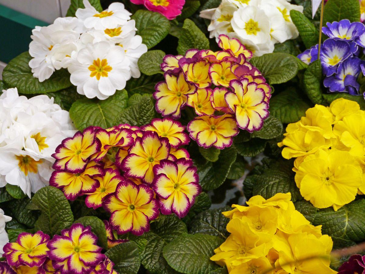 <p>Primula har kort sesong som stueplante, men alle primula er egentlig flerårige og kan settes ut i hagen til våren. Foto: OBP</p>