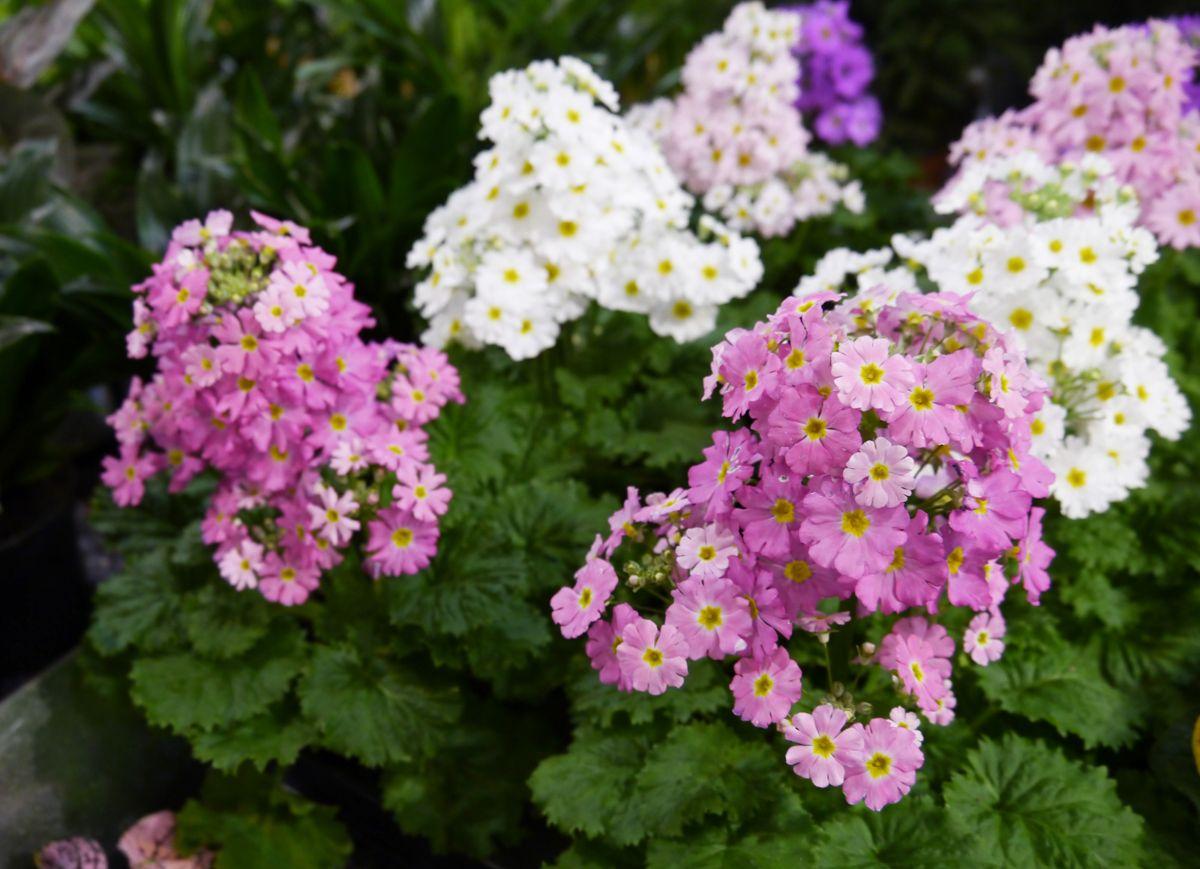 Primula har kort sesong som stueplante, men alle Primula er egentlig flerårige og kan settes ut i hagen til våren. (Foto: OBP)