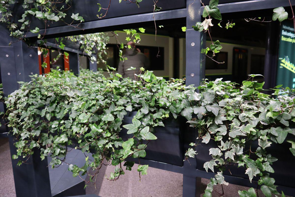 Plantene som brukes er ulike eføyvarianter, hvor bladverket fanger opp svevestøv. De vokser ikke i vanlig jord, men testes ut på vekstsubstratblandinger som fungerer i klimaet i tunnelen. Foto: Svanhild Blakstad