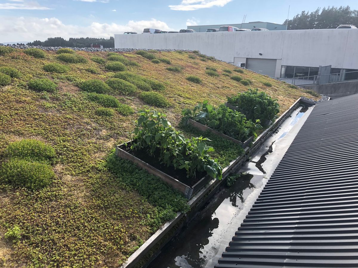<p>Mattak-prosjektet i Bergen har blant annet som mål å stimulere flere huseiere og utbyggere til å ta i bruk tak til dyrking av mat. Slik så det ut på kontortaket til anleggsgartner Sigurd Boasson AS på Kokstad seks uker etter planting.</p>