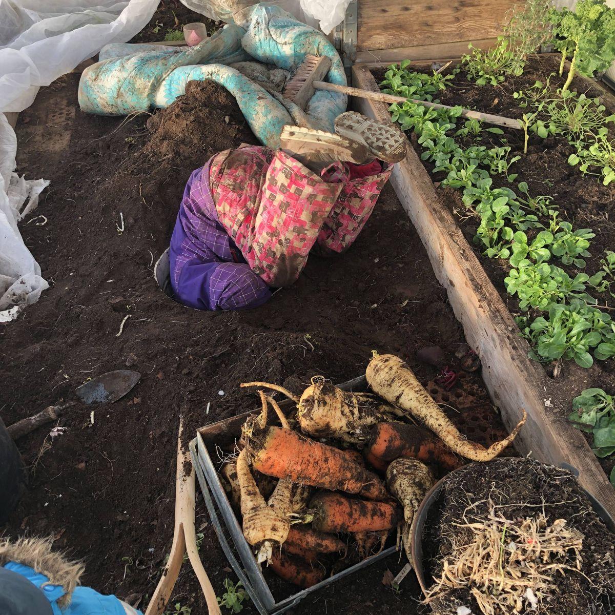 GØY I HAGEN: Barna stortrives i kjøkkenhagen, og her er det en nysgjerrig femåring som sjekker om det er flere rotgrønnsaker igjen i den nedgravde tønna i drivhuset som brukes til vinterlagring.