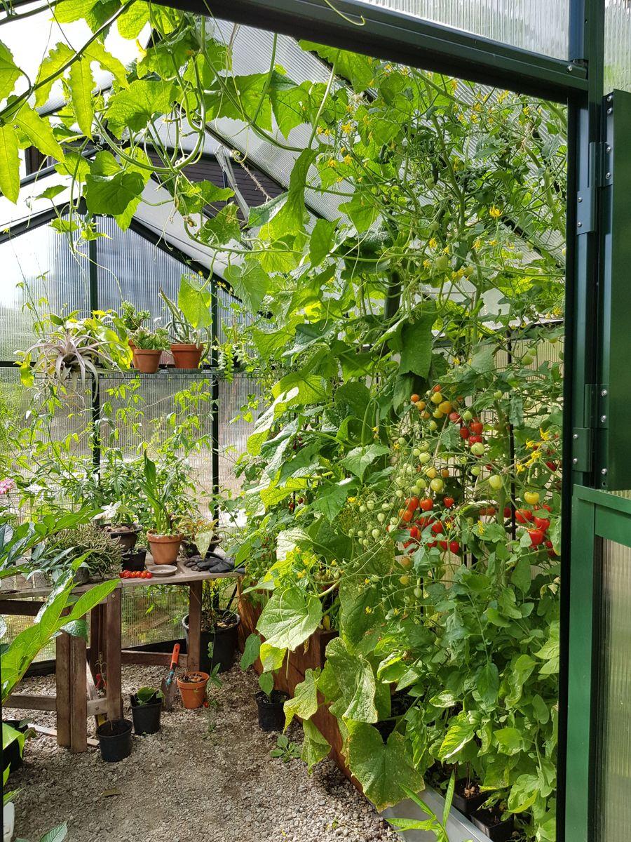 VILL VEKST: Det kan fort bli jungel i drivhuset når veksten skyter fart. Foto: Skarpihagen.no