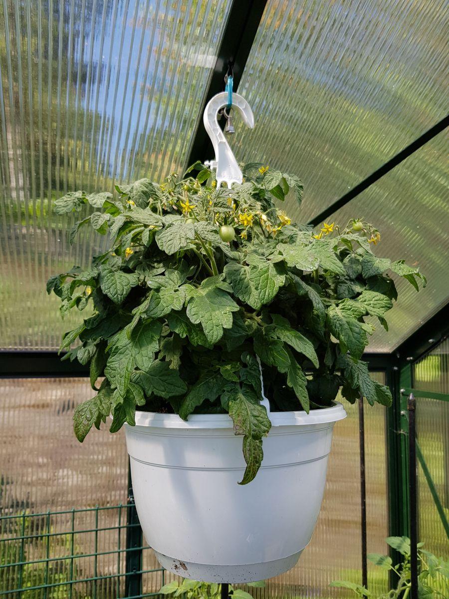 HENG OPP: Ampler i taket gir ekstra plass til tomater og andre morsomme vekster. Husk at det er varmt oppunder taket og at det må vannes oftere. Foto: Skarpihagen.no