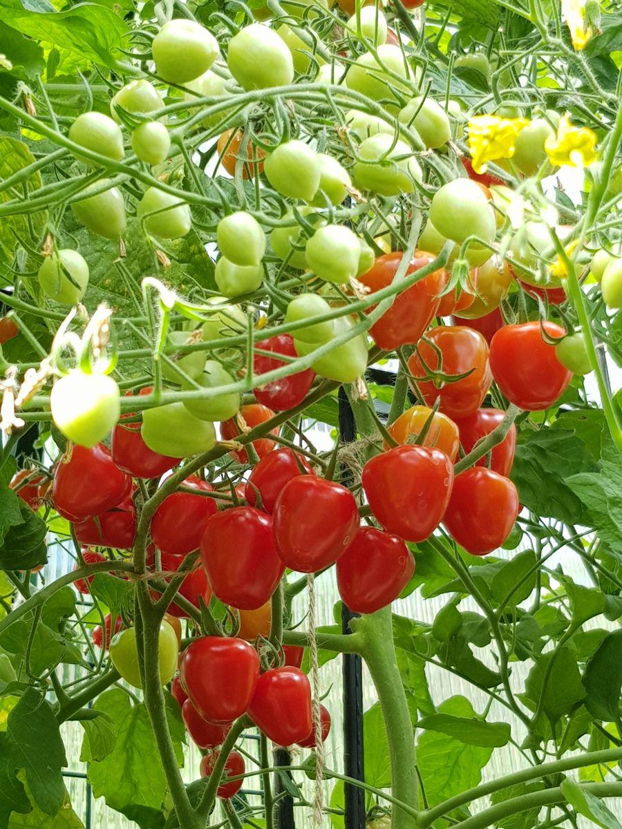 Solmodne cherrytomater av typen Gardenberry. Foto: Skarpihagen.no
