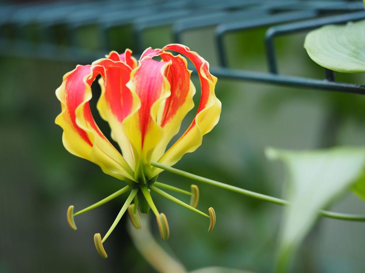 Finn gjerne plass til eksotiske planter i drivhuset. Her en flammende Gloriosa. Foto: Skarpihagen.no