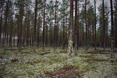 I 80 år har Eidskog kommune forpliktet seg til å betale over 12 millioner kroner for å leie denne skogen ved svenskegrensa. Foto: Thoms Frigård