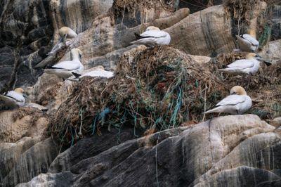 Havsuler har sine reir i fiskegarn av plast på fuglefjellet på Runde. Selv om mange kommune støtter formålet om å bekjempe plast i havet som er årets tema i TV-aksjonen, vil de ikke støtte Verdens Naturfond (WWF) ettersom de også er uenige i organisasjonens rovdyrpolitikk.