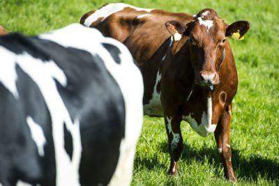 Kuene på Jæren skal i framtida produsere mer enn melk og kjøtt. Gjødsla fra husdyrene skal også brukes.