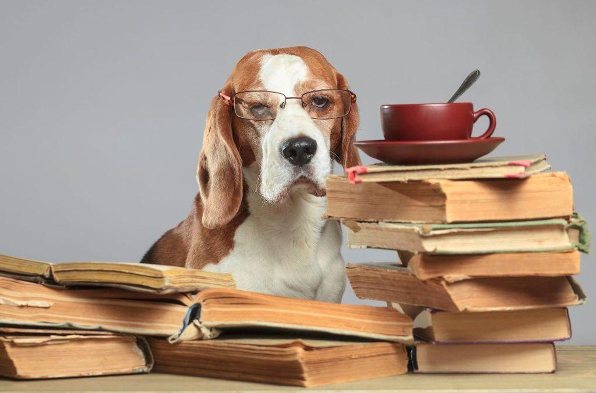 En forsker er kommet frem til hvilke hunde, der er de klogeste. KLIK VIDERE I GALLERIET OG SE, HVILKE HUNDE DER SCORER HØJEST I INTELLIGENSTESTEN. Arkivfoto.