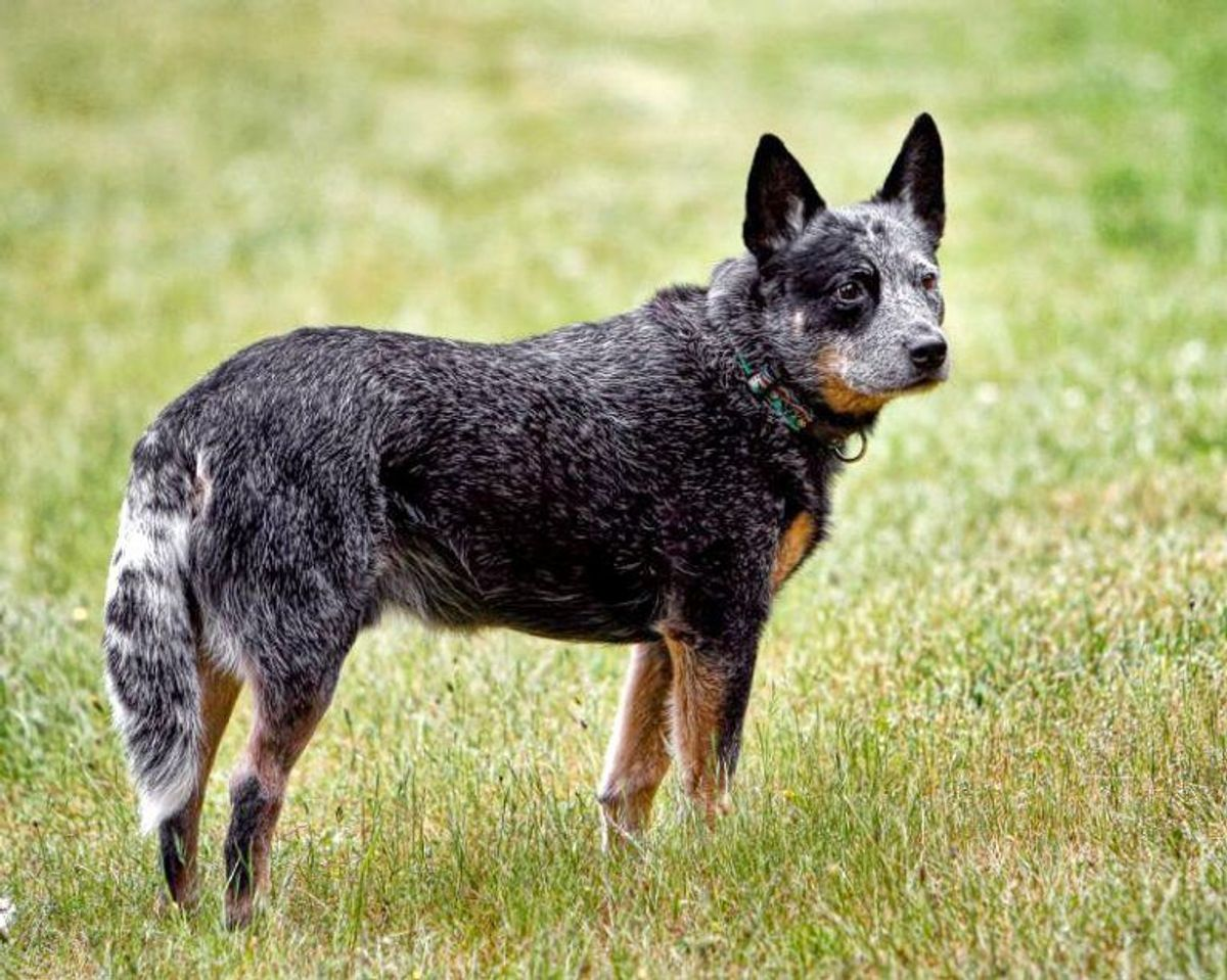 Australsk kvæghund. Foto: Wikimedia Commons.