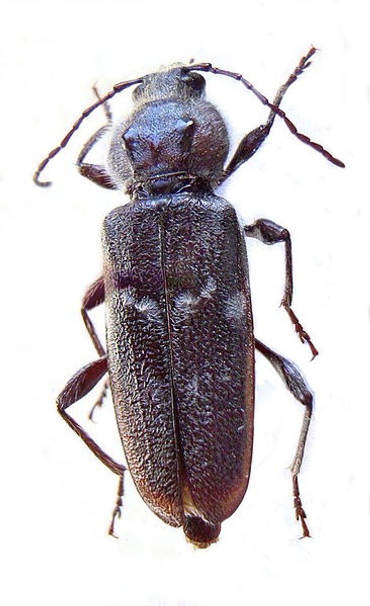 Husbukken er et andet kryb, der elsker træ. Særligt nåletræ er populært hos husbukke, og får husbukken tid og fred, kan tagbeklædningen i et hus slet og ret opleve forringet bæreevne. Det er billens larver, der lever af træet, og ifølge Bolia er husbukken det insekt, der hurtigst kan forvolde skade på tømmer og trækonstruktioner i huse. Foto: Siga/Wikimedia Commons