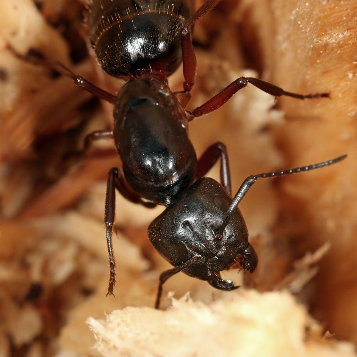 Lever i træ, helst nåletræ. Indendøre oftest i træ, eksempelvis under gulvet. Er mest aktive om natten. Det kan derfor være svært at optage, at man er invaderet af dem. Herkulesmyren udhuler og ødelægger det træ, den bygger rede i. Det er derfor særdeles vigtigt at bekæmpe denne myreart, hvis man opdager den. Har du mistanke om, at der er Herkulesmyrer i dit hjem, skal du kontakte dit forsikringsselskab for at sikre, at de bliver bekæmpet korrekt. Foto: Richard Bartz, Munich Makro Freak/Wikimedia commons