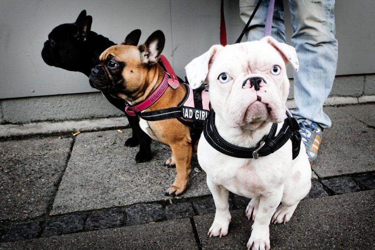 Bulldog. Forventet levetid: Seks år. Kilde: Danske Dyreinternater. Foto: Scanpix.