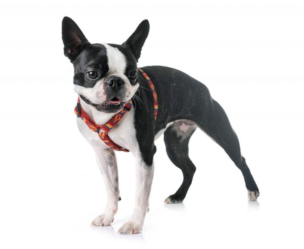 Boston Terrier. Forventet levetid: 11 år. Kilde: Danske Dyreinternater. Arkivfoto.