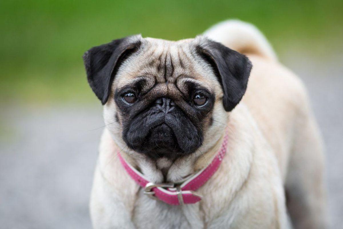 Hvis der løber væske fra øjne og/eller snude på hunden, bør du også få den tjekket for kræft. Kilde: Reader's Digest. Arkivfoto.