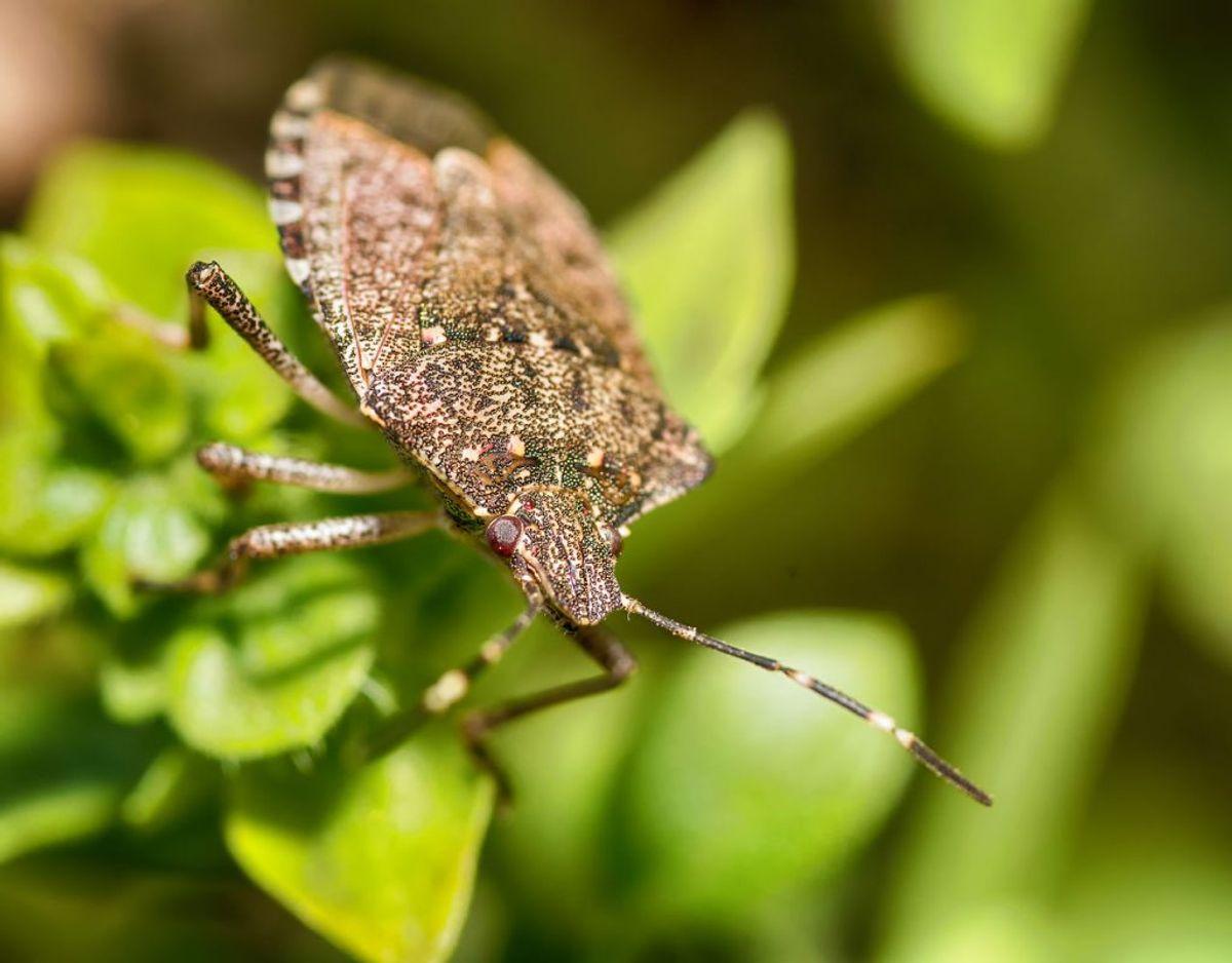 Tæger har seks ben og tilhører insektfamilien. De fleste flåter lever plantesaft, men der findes også blodsugende tægearter. Foto: Scanpix