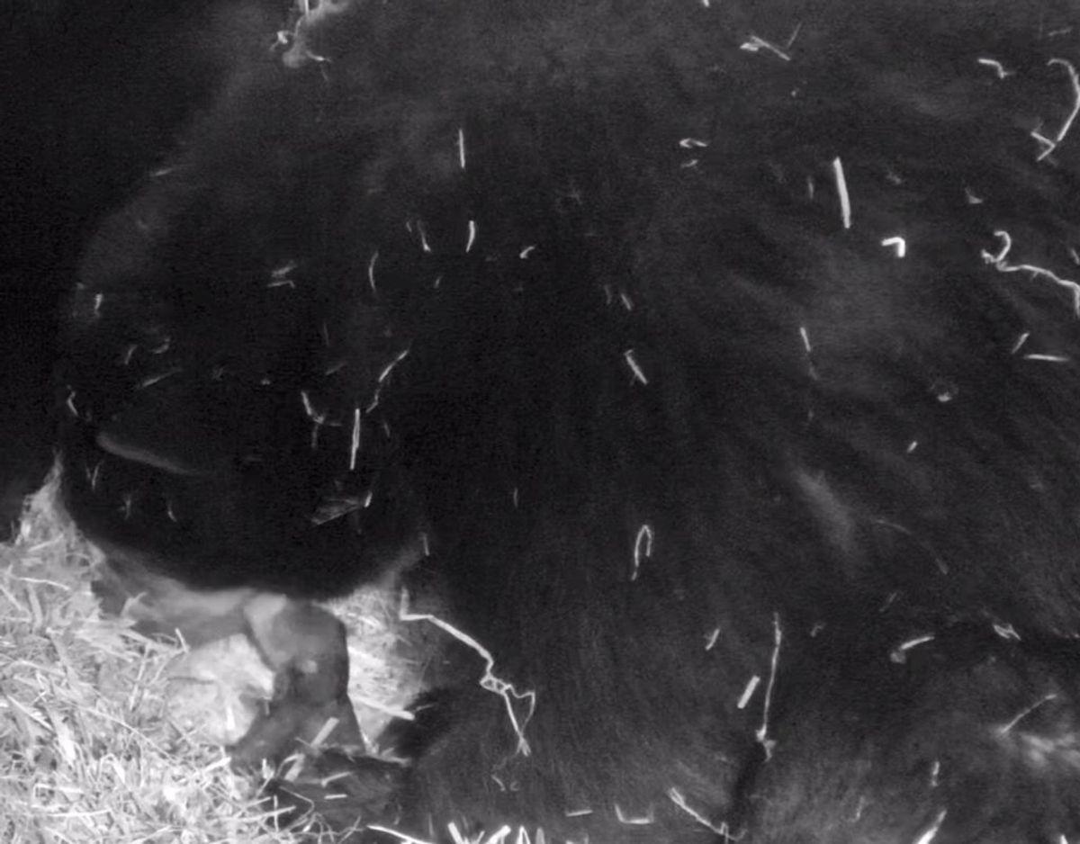 Nyheden om ungen vakte jubel, også i USA. Foto: Givskud Zoo.