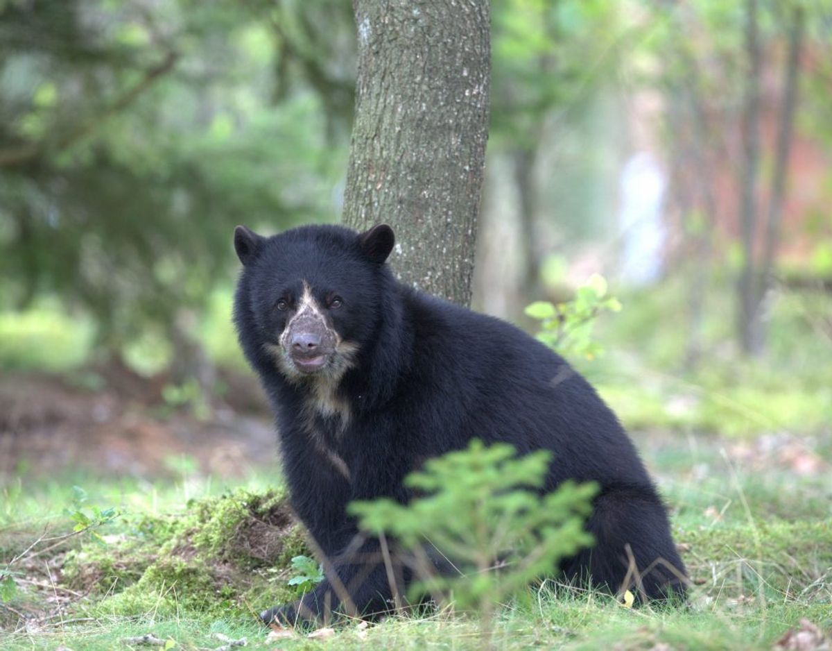Det var lidt af en sensation, da Givskud Zoo kunne annoncere, at deres brillebjørnepar havde fået en unge. Foto: Givskud Zoo.