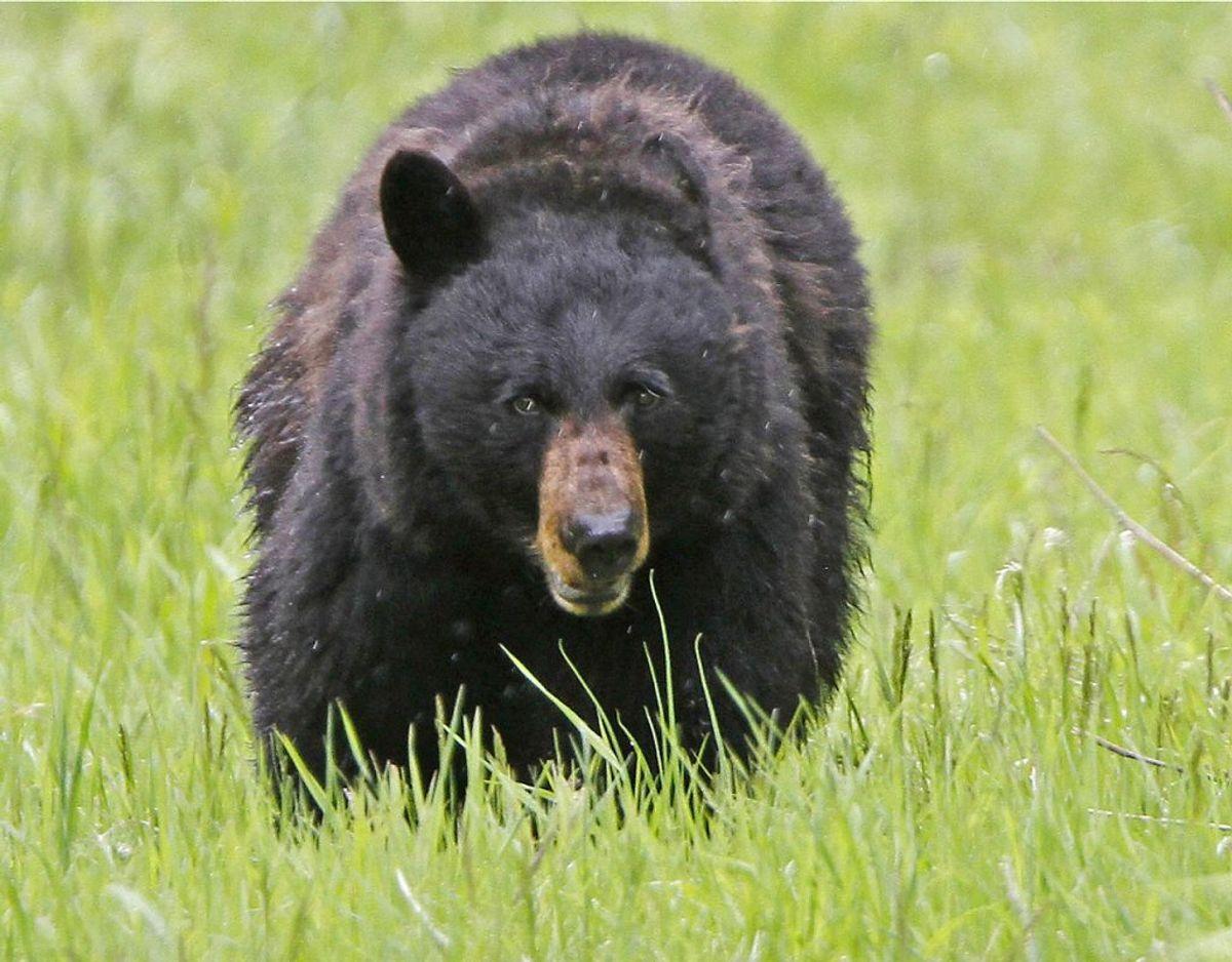 Ifølge en biolog kan det meget vel være en sortbjørn, der har været på spil.  Foto: Scanpix/Jim Urquhart.