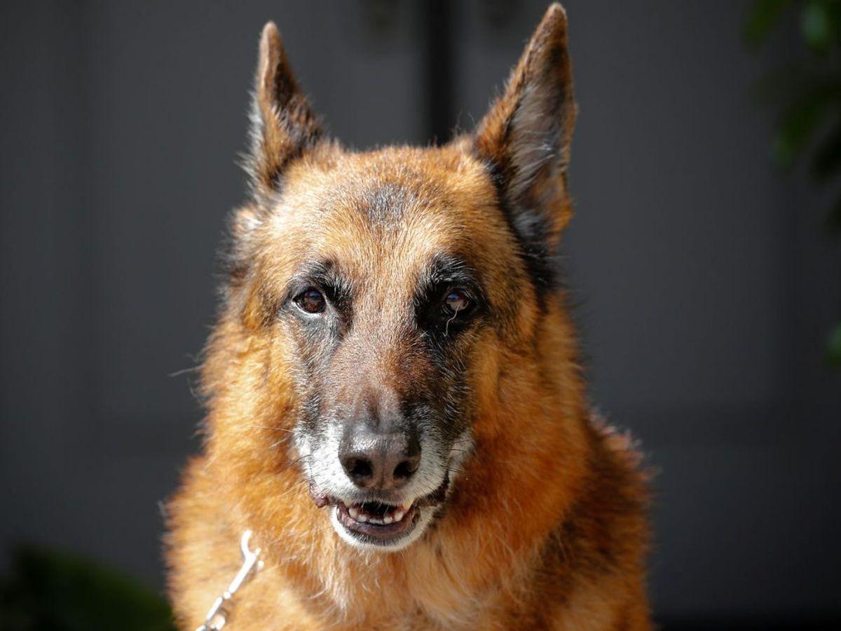 Den 78-åriges schæferhund skal nu aflives. Genrefoto: Scanpix.