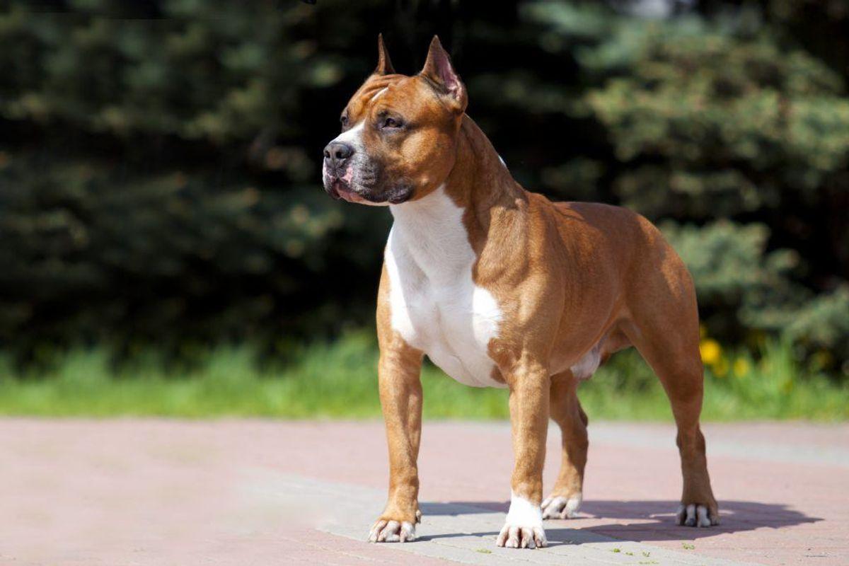 Amerikansk Staffordshire Terrier. Foto: Scanpix
