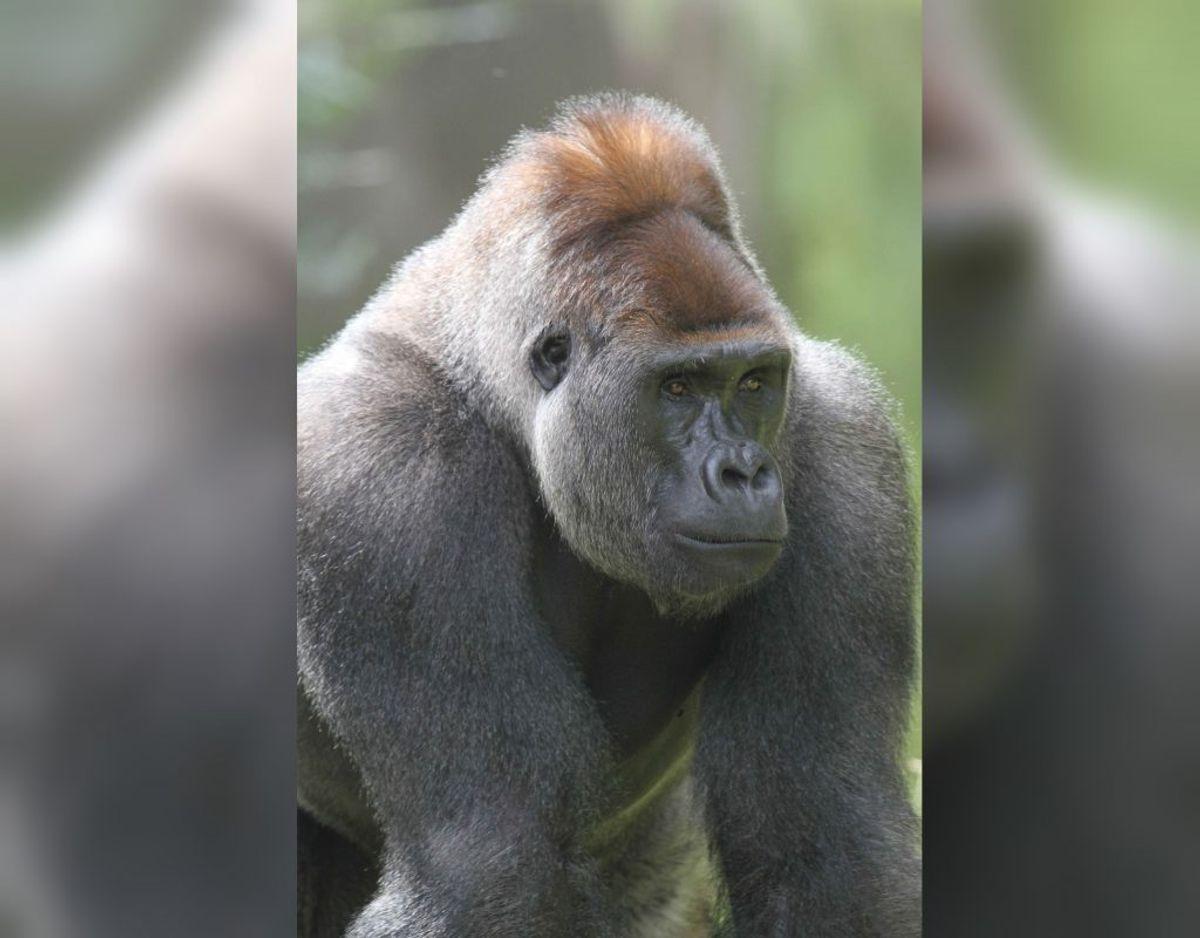 Her ses lederen af gorillaflokken, hangorillaen Kipenzi. Foto: Givskud Zoo.