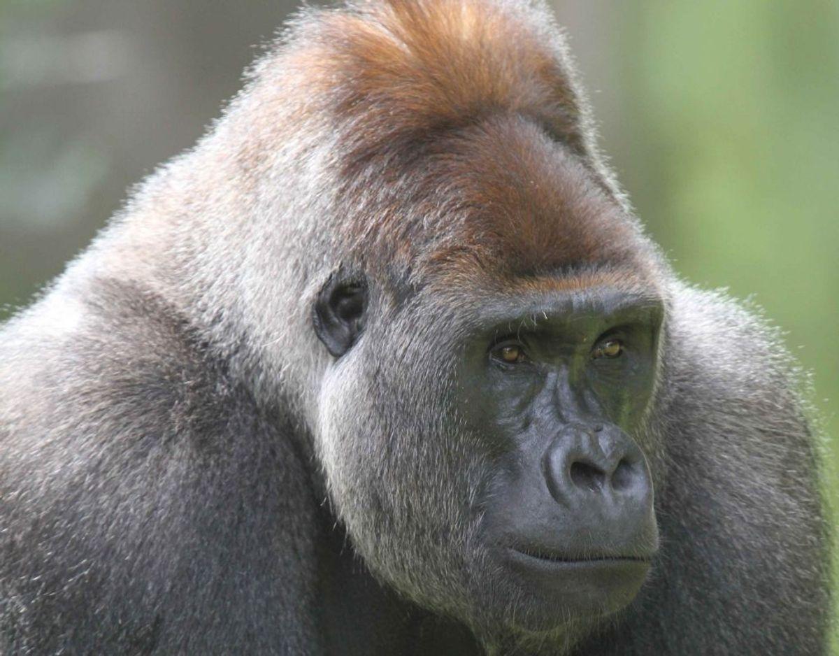 Når gorillaens vandgrav fryser til is, er den nødt til at blive indenfor. Foto: Givskud Zoo.