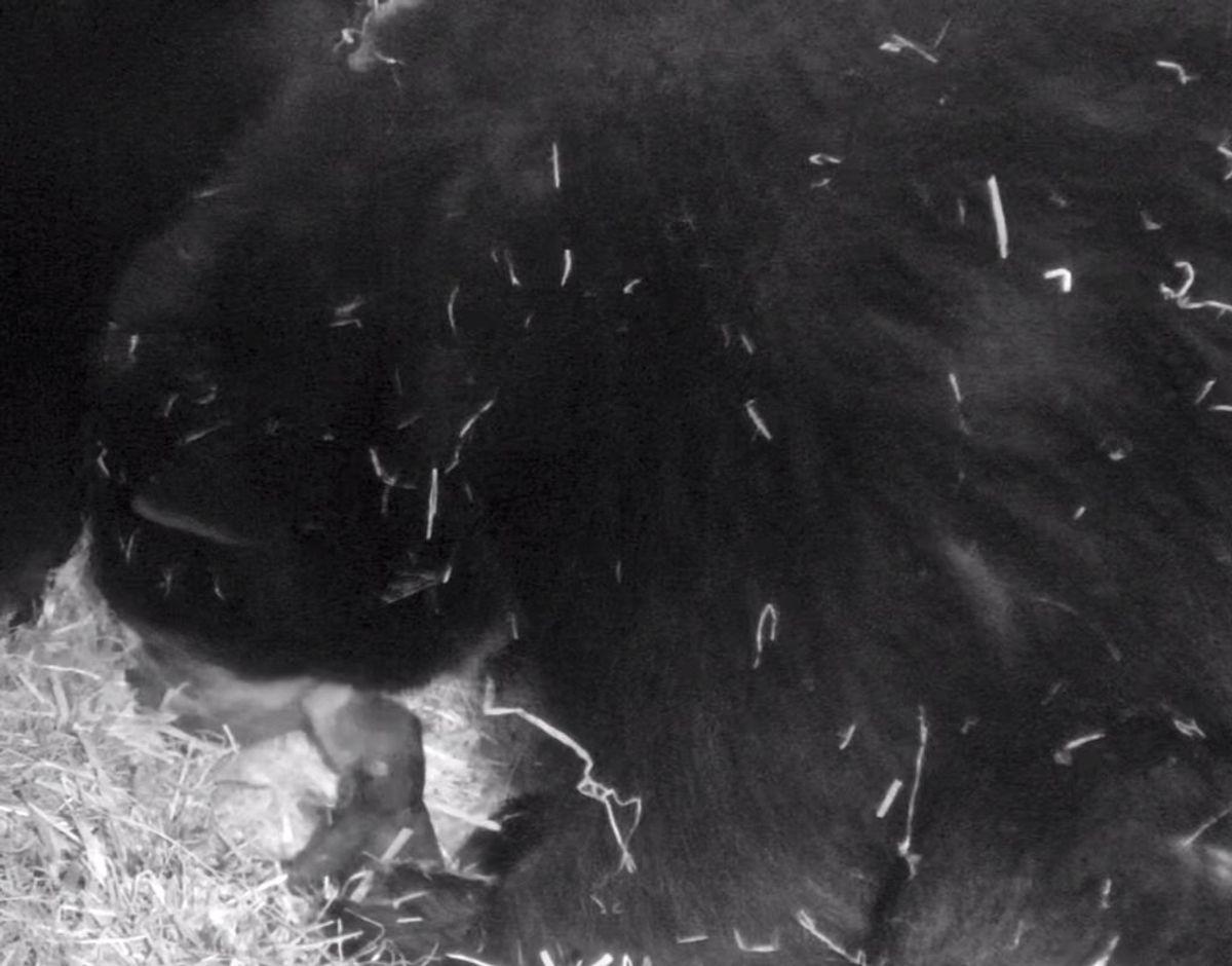 Sådan ser den ud, den ny brillebjørneunge. Foto: Givskud Zoo – Zootopia.