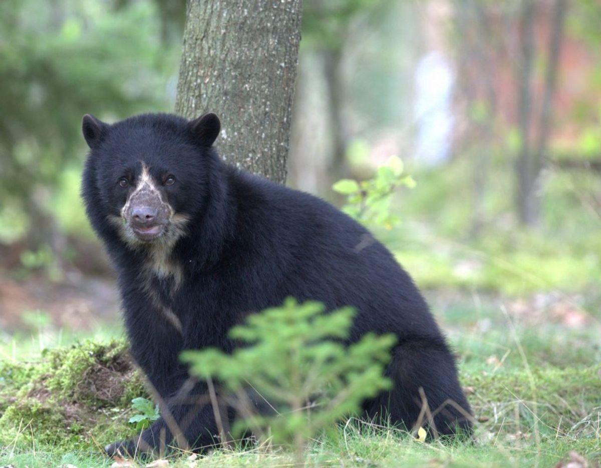 En voksen bjørn. Foto: Givskud Zoo – Zootopia