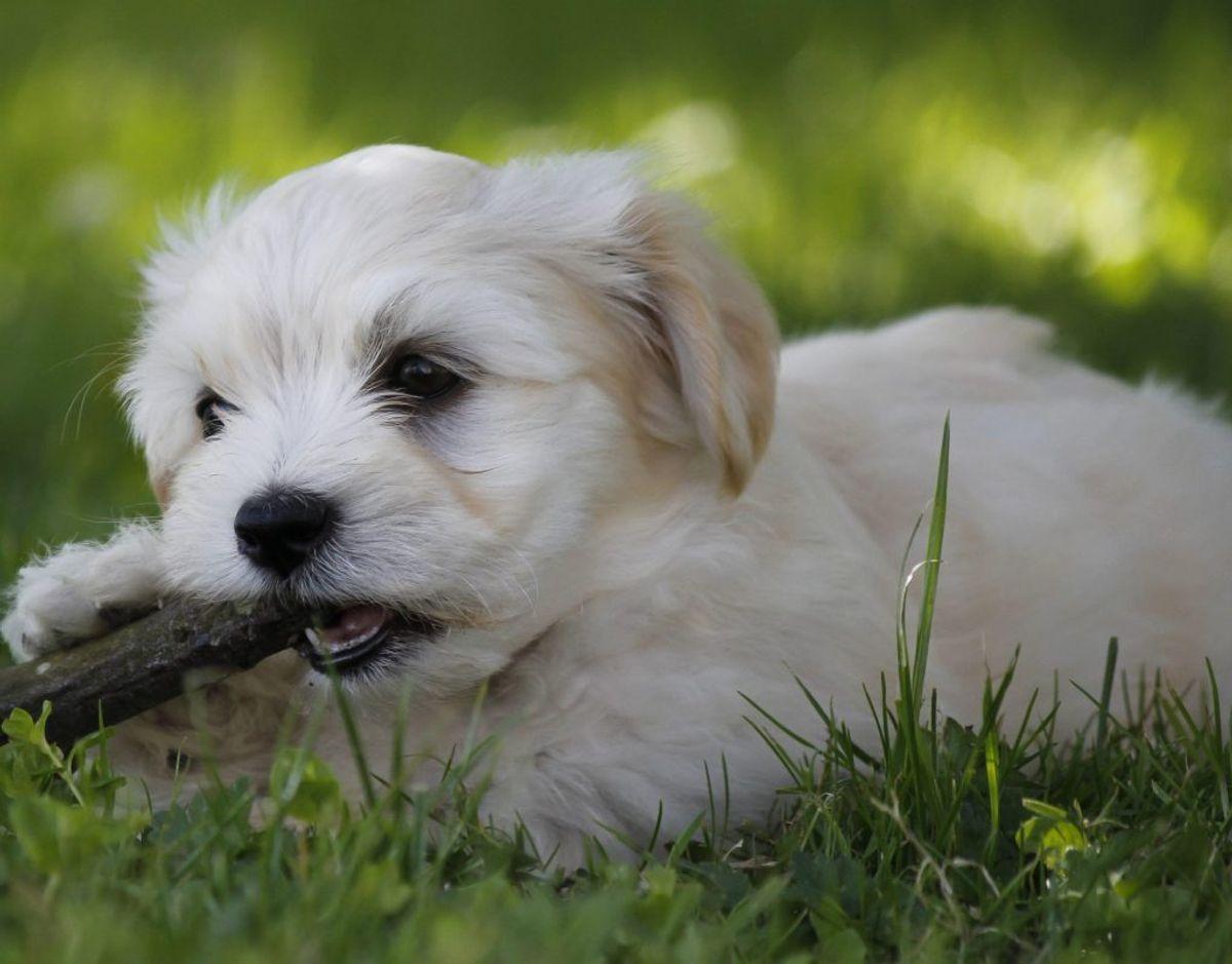 Årets højdespringer på forsikringssiden er selskabshunden bichon havanais (se billede). En lille livlig hund med en blød pels, der findes i forskellige farver. Den ender på plads nummer 1. Foto: Colourbox