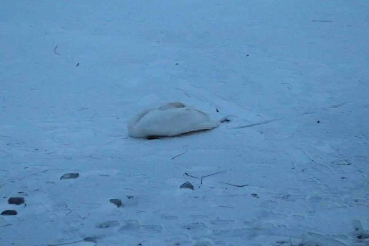 Flere svaner dør i kulden, når søerne fryser til is. Foto: Presse-fotos.dk.