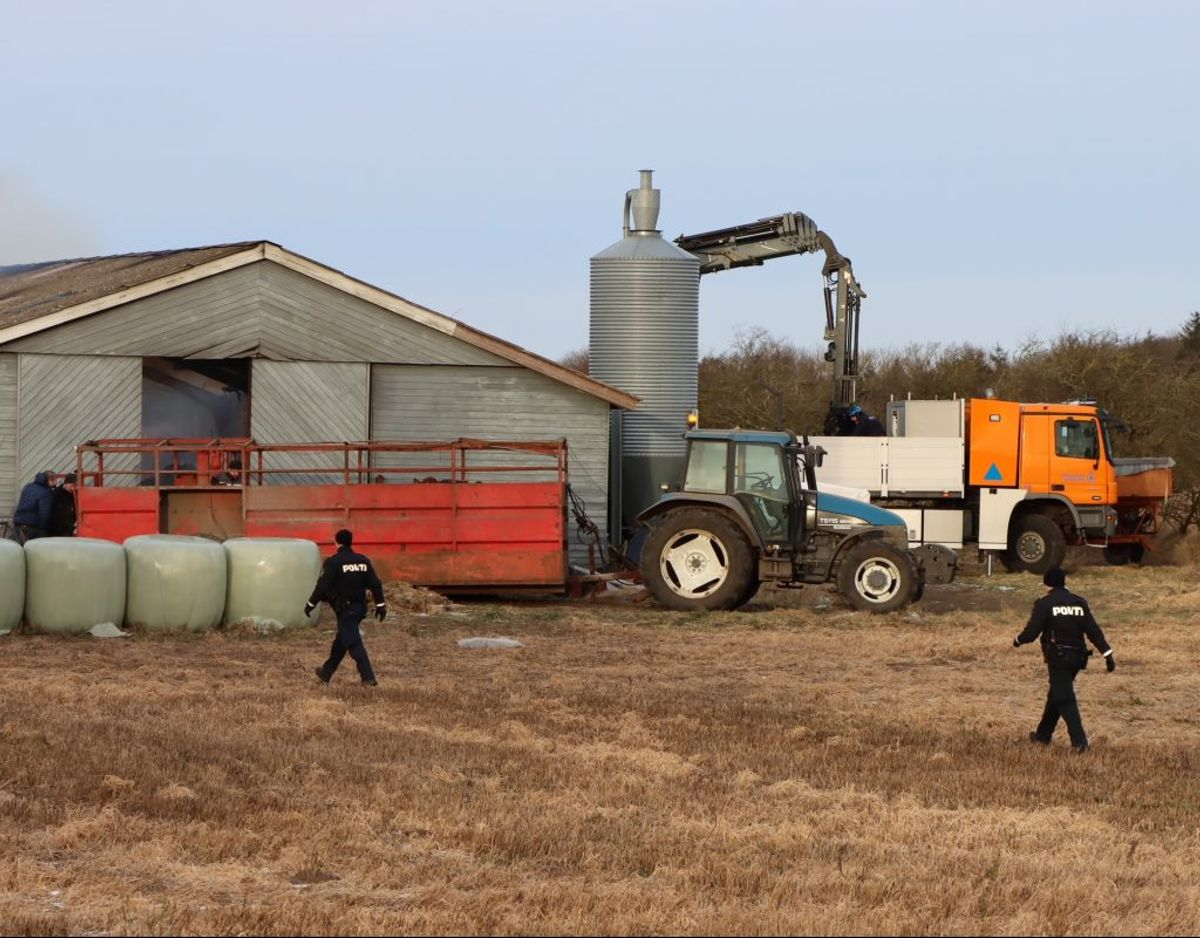 Kalvene skal nu fanges ind igen. KLIK FOR FLERE BILLEDER. Foto: Presse-fotos.dk