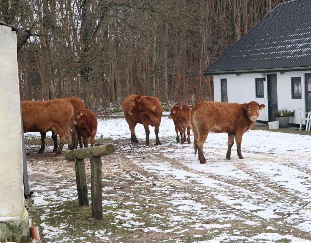 Det lykkedes ejeren at redde sit kvæg ud af en brændende stald. LIK for flere billeder. Foto: Øxenholt Foto.