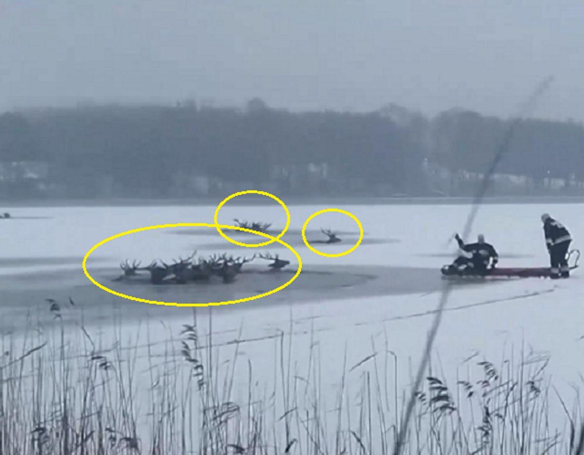 Som det fremgår af billedet her, så er hjortene brudt gennem isen og er fanget i vandet. Foto: Ritzau Scanpix.
