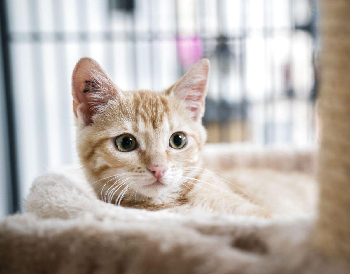Rigtig mange katte bliver efterladt af mennesker, ifølge Dyrenes Beskyttelse. Foto: Ida Marie Odgaard/Ritzau Scanpix