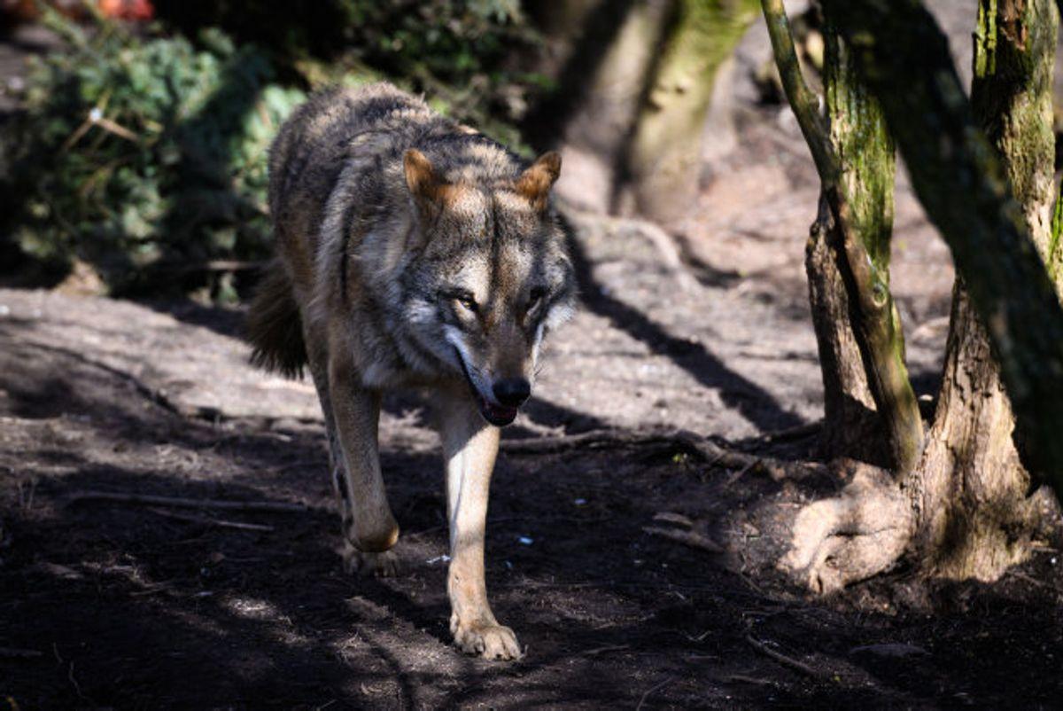 Der har kun været ét bekræftet tilfælde, hvor en vestjysk mand dræbte en ulv og efterfølgende blev dømt for det. Men det kan ikke udelukkes, at andre ulve kan være blevet illegalt nedlagt. Nu har en forskergruppe set på mulighederne for at forebygge drab på fredede ulve. Ulven på billedet er fra en zoologisk have. (Arkivfoto). Foto: Ida Marie Odgaard/Scanpix