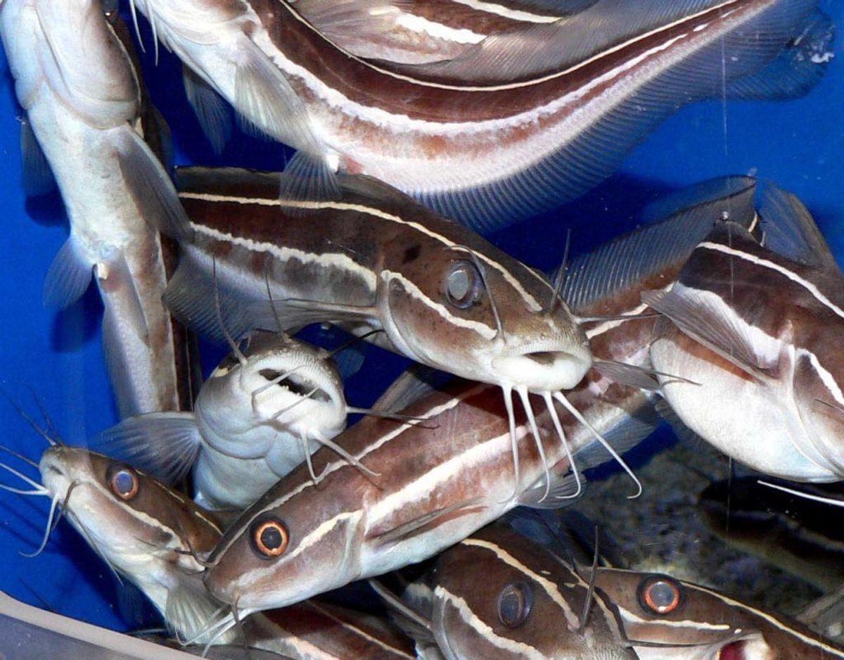 Stribet Koralmalle er ét blandt flere dyr, der slet ikke må være i Danmark. Foto: Wikimedia Commons/Stan Shebs KLIK og se de andre uønskede dyrearter.