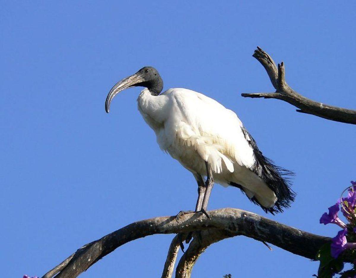 Hellig ibis/Threskiornis aethiopicus. Foto: Wikimedia Commons/Christiaan Kooyman