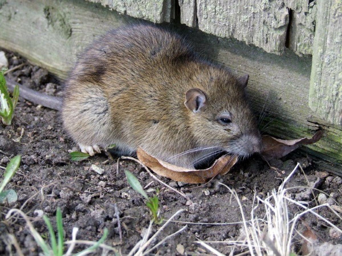 Brun Rotte/Rattus norvegicus. Wikimedia Commons/Tocekas