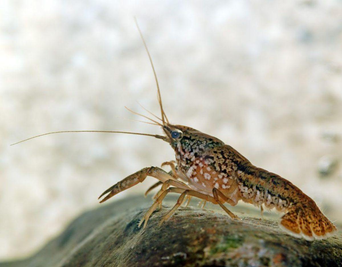 Marmorkrebs /Procambarus fallax f. virginalis – Foto: Wikimedia Commons/André Karwath.