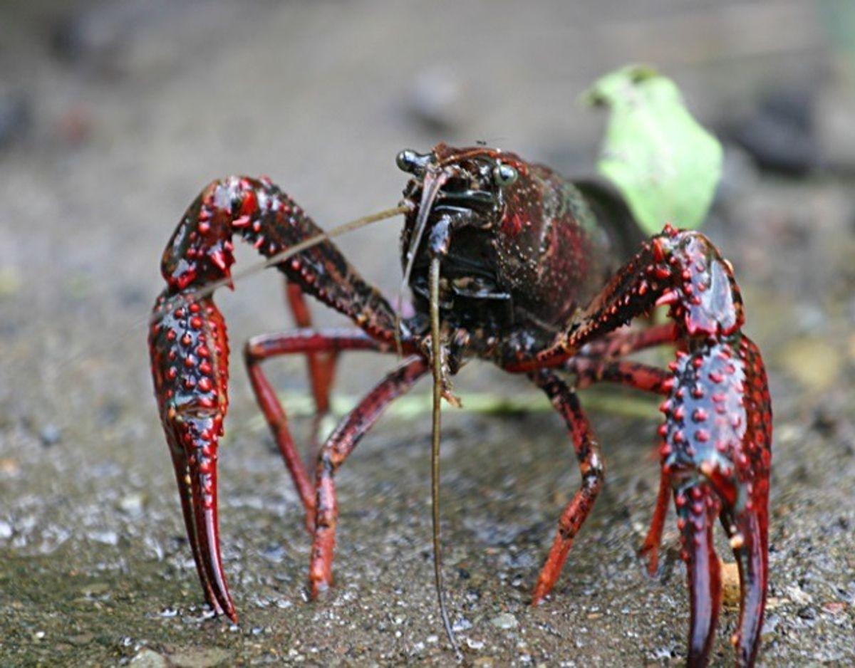 Louisiana-flodkrebs/Procambarus clarkii – Foto: Wikimedia Commons