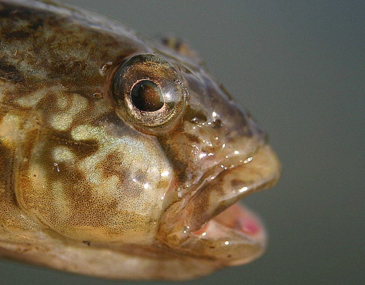 Sortmundet kutling /Neogobius melanostomus – Foto: Wikimedia Commons/Peter van der Sluijs